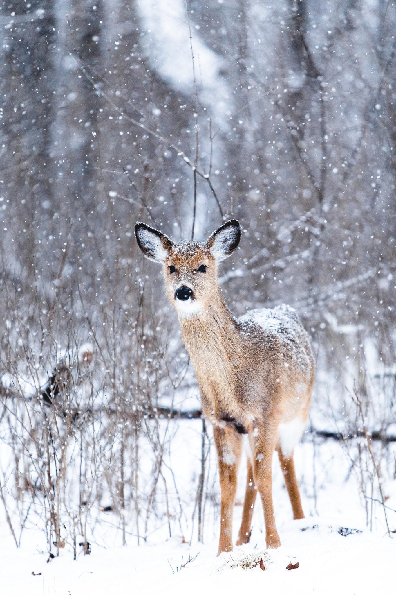 baby deer wildlife winter forest nature