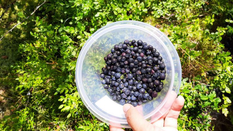 blueberries collected from nature with blueberry plant in background