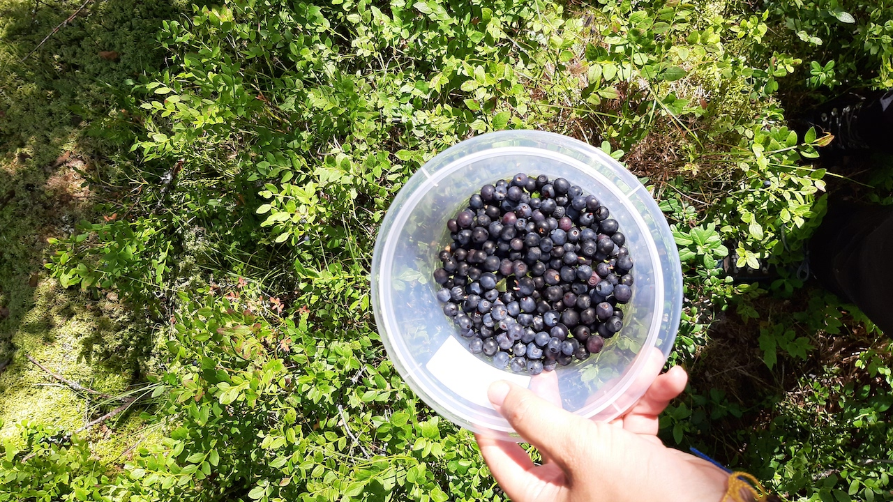 bucket full of blueberries in finnish national park