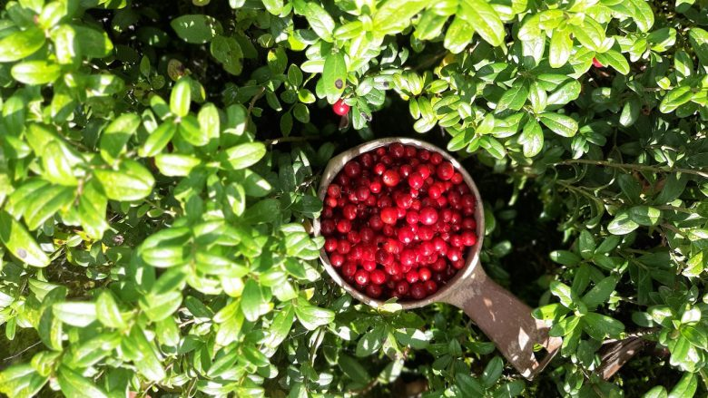 a cup full of lingonberries in a finnish national park