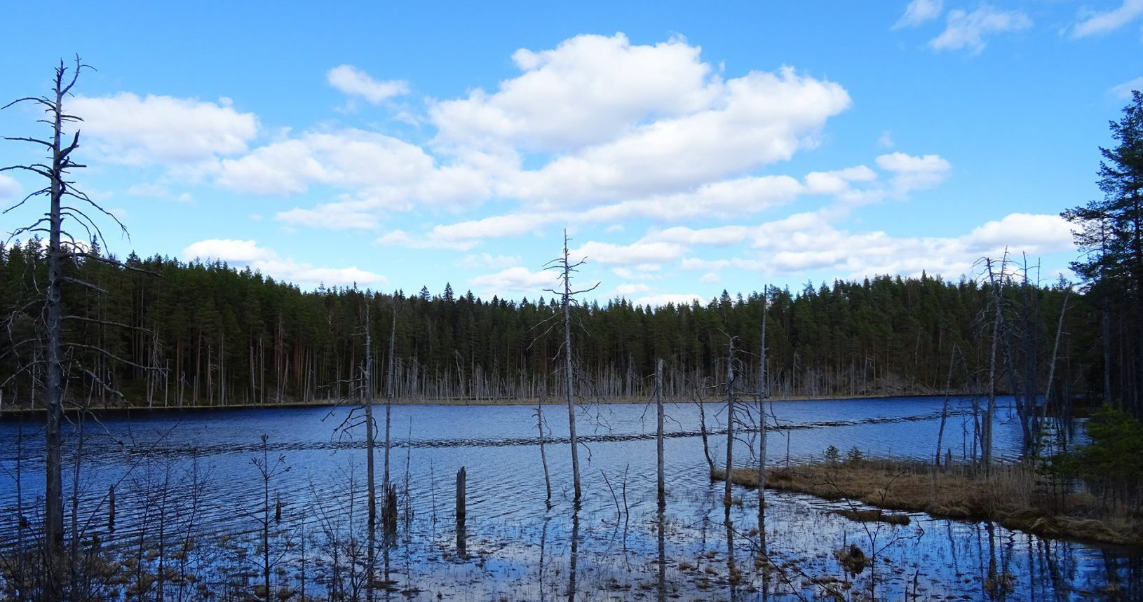 lake with dead trees in isojärvi national park finland