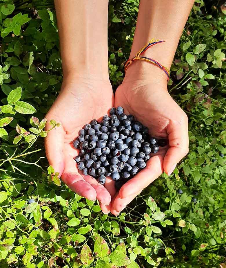 blueberrypicking