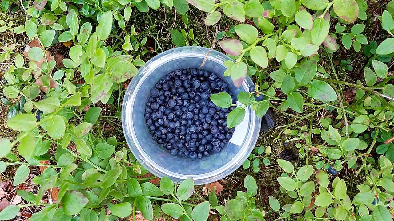 berry picking day tour from helsinki